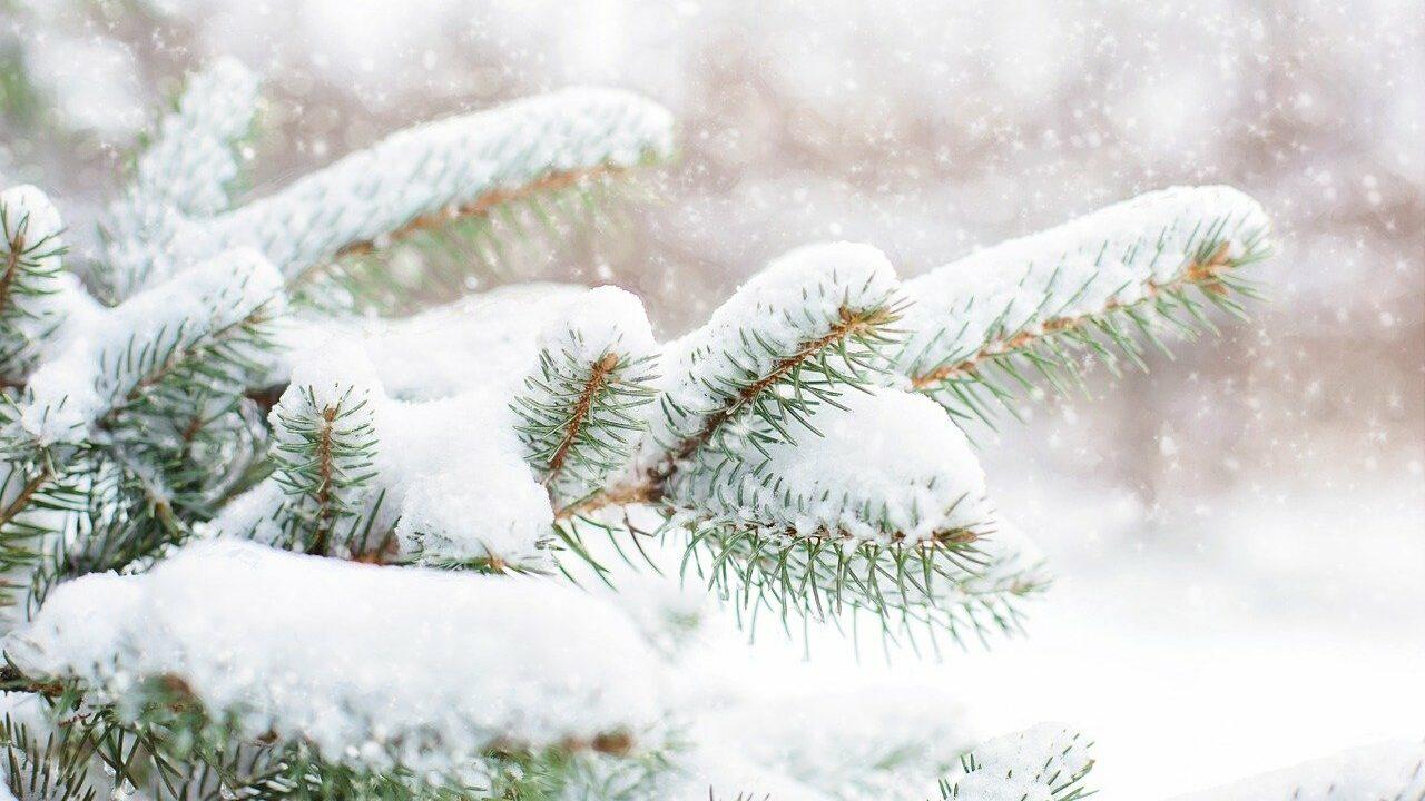 Lähikuva lumen peittämistä kuusen oksista.