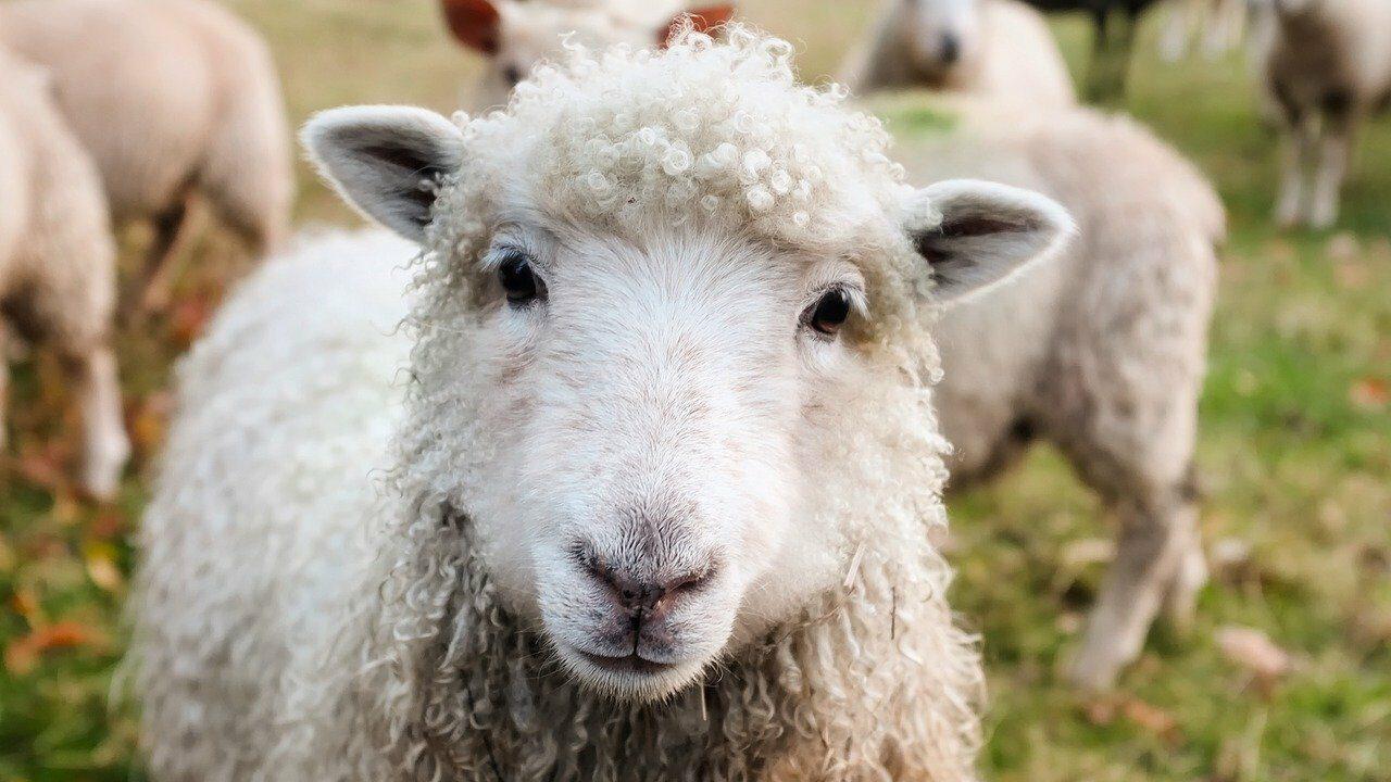 Lähikuva valkoisesta lampaasta.